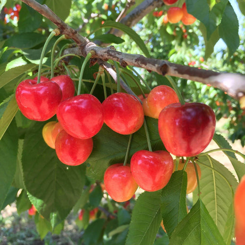 Organic Rainier Cherries, Online Fruit Delivery
