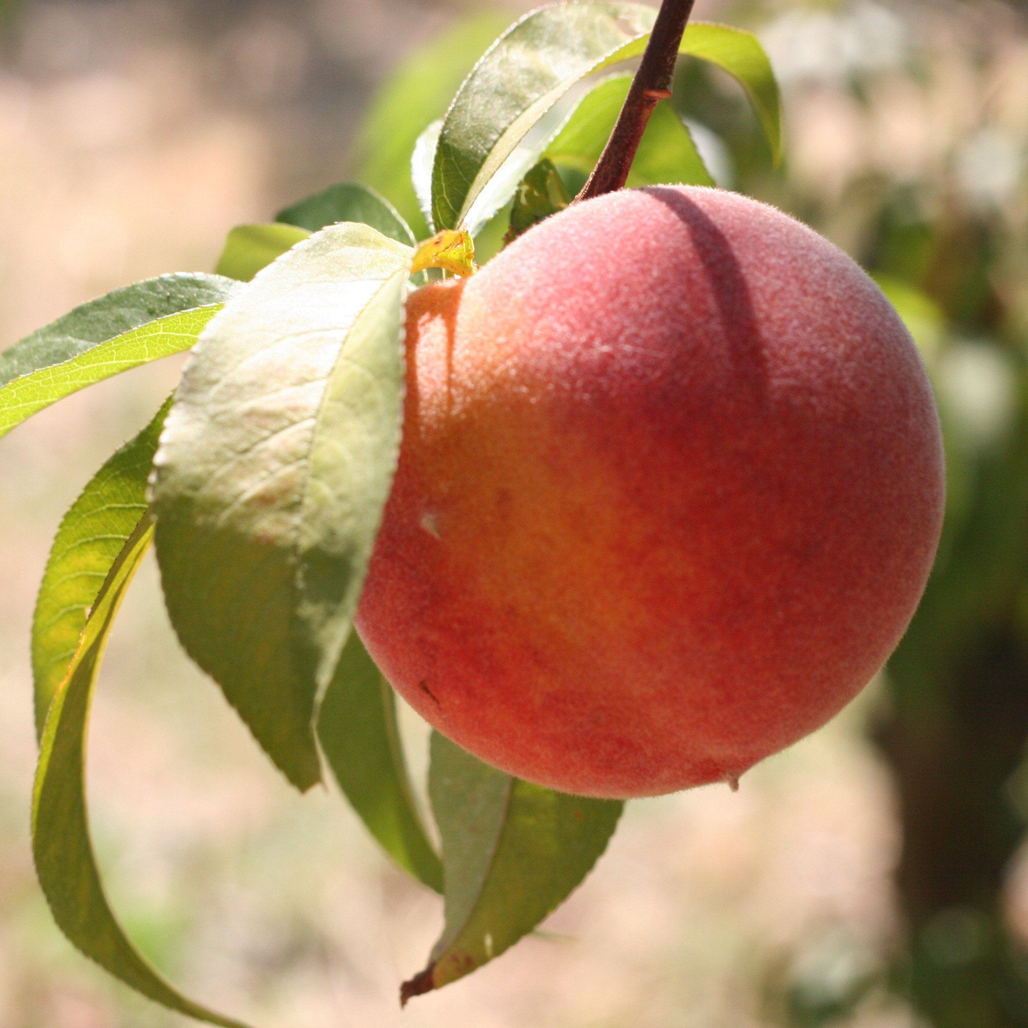 Organic Yellow Peaches – Frog Hollow Farm