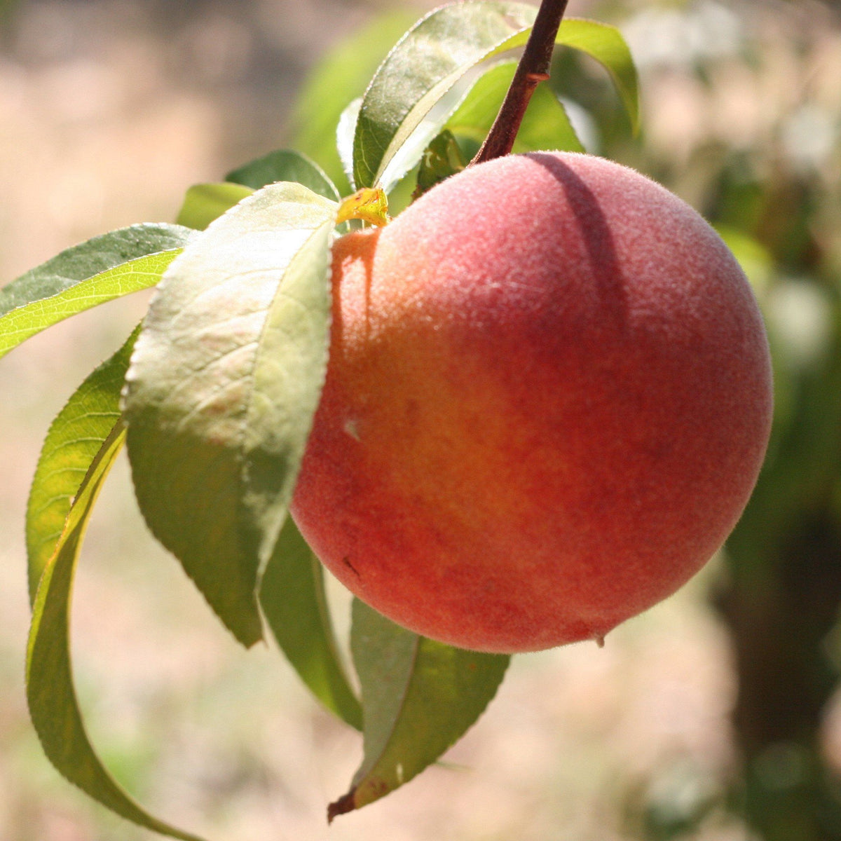 Organic Peaches | Organic Fruit Delivery