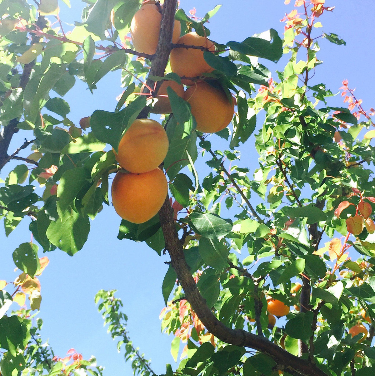 Kettleman Apricots | Organic Fruit Delivery
