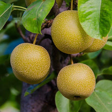 Load image into Gallery viewer, Organic Asian Pears | Organic Fruit Delivery