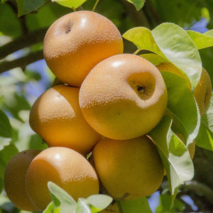 Hosui Asian Pears | Organic Fruit Delivery