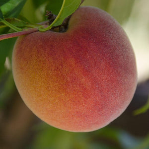 2019 Gotta Have My Peaches | Organic Fruit Club | 12 Shipments (Pre-Order)