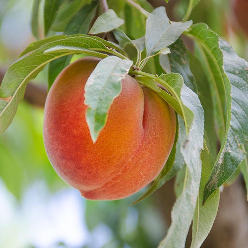Organic Peaches, Farm to Table, Home Delivery, Office Dleivery