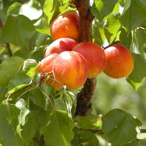 Organic Apricots | Organic Fruit Delivery