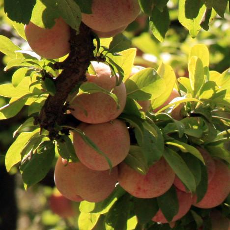 Organic Pluots | Organic Fruit Delivery