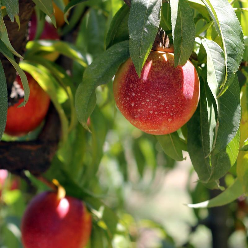 2013 Need My Nectarines | Organic Fruit Delivery