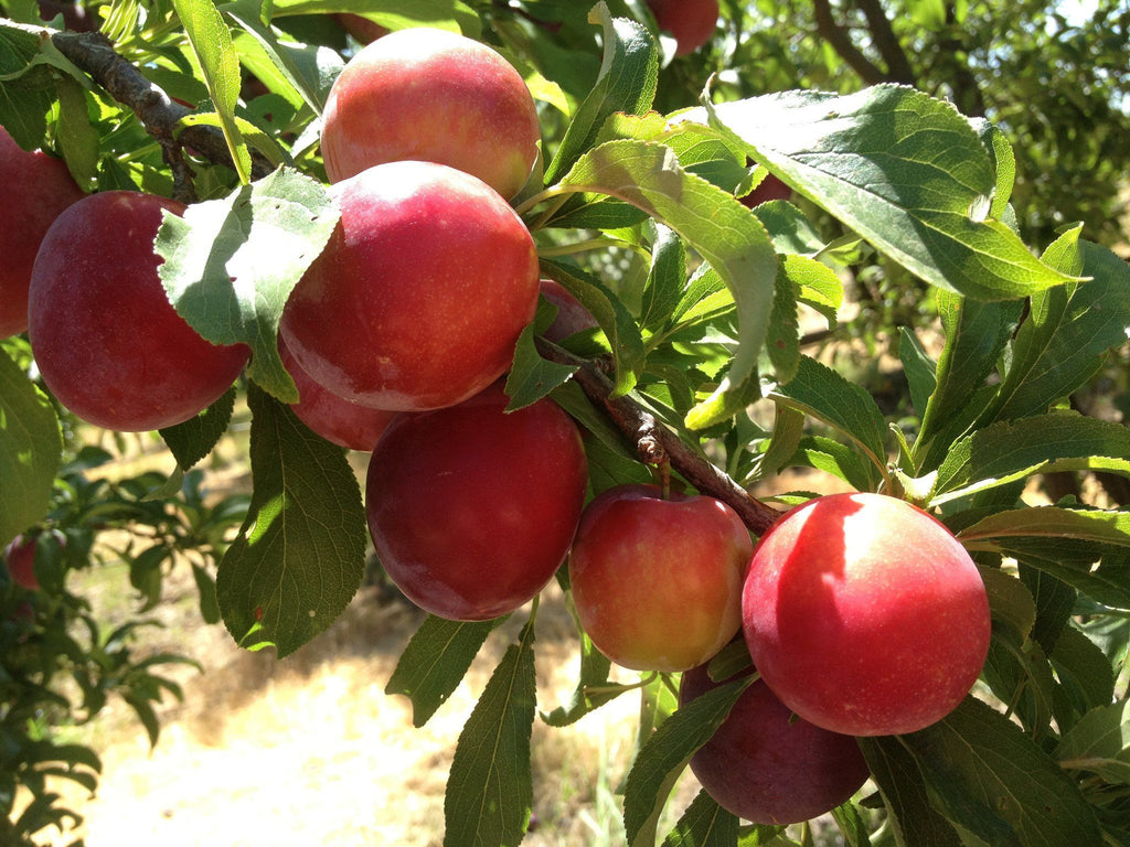 Gotta Have My Plums and Pluots   Organic Fruit Delivery