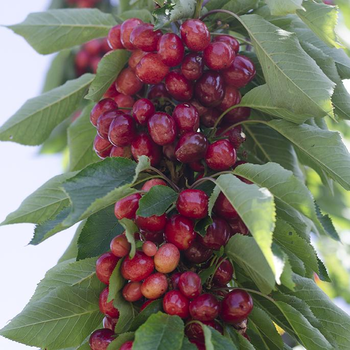 Royal Tioga Cherry | Organic Fruit Delivery