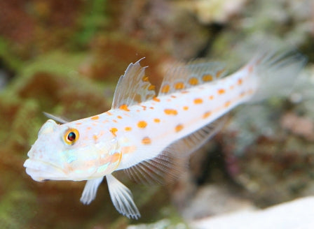 Goby: Watchman Diamond