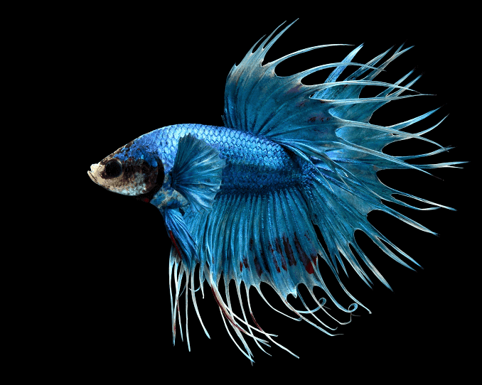 Betta: Crowntail (Male)