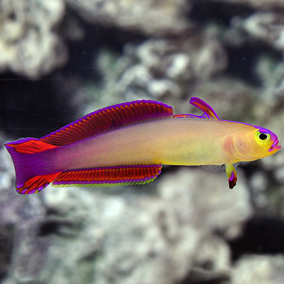 Exquisite Firefish