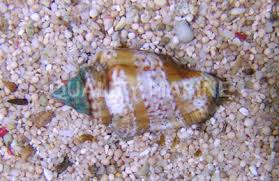 Snail: Fighter Conch
