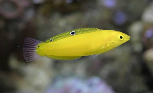 Wrasse: Coris Yellow (Yellow Chrysus)