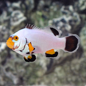 Clownfish: Platinum Percula