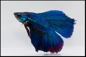 Betta: Twintail Halfmoon Betta (Male)