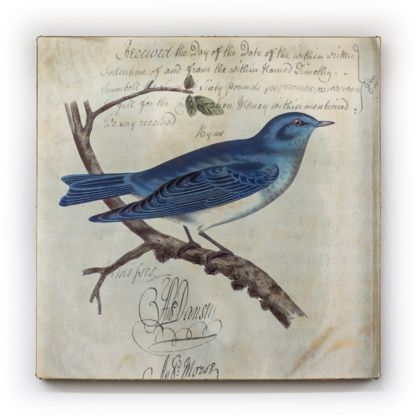 Blue Jay Square on Canvas