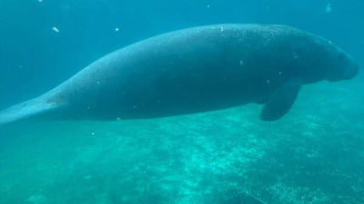 Not Unusual for Manatees to be Stranded During Mating Season