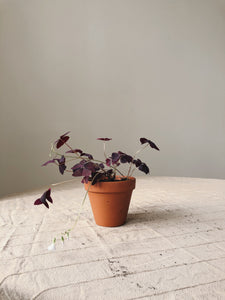 Oxalis triangularis SLOW PLANT