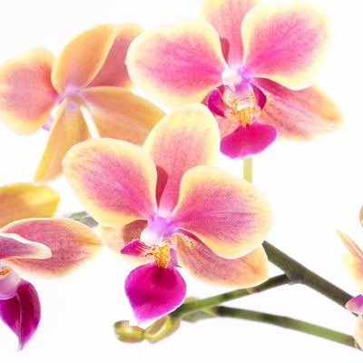 Tropical Delight Orchid