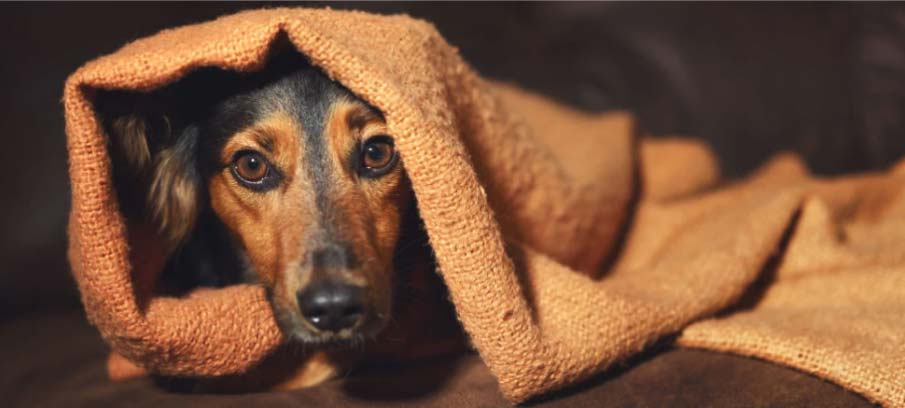Trazodone for Dogs: Dosage, Side Effects, and Alternatives