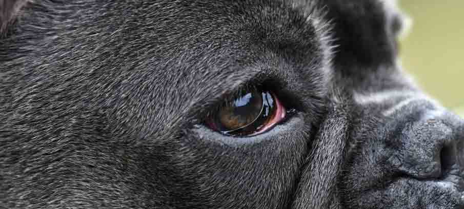 Why-Is-my-Dogs-Eye-Red-Causes-and-Treatments