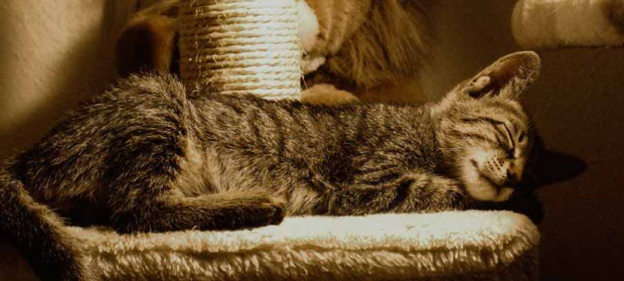 Why-is-my-cat-lethargic-natural-remedies
