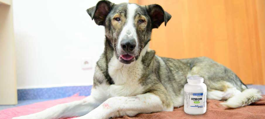 dosage-of-cephalexin-for-dogs-side-effects