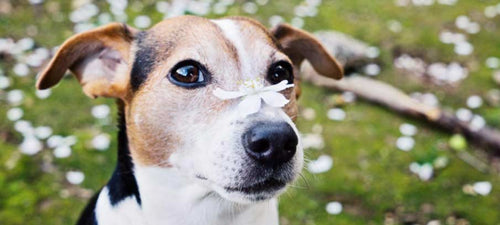 Dog Eye Allergies Home Remedies and Natural Treatment Options