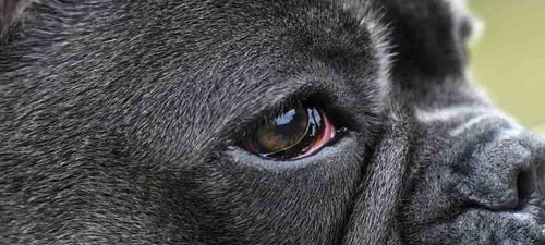 Why Is my Dogs Eye Red Causes and Treatments