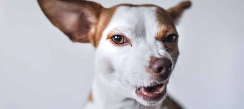 what-is-tracheitis-in-dogs-symptoms