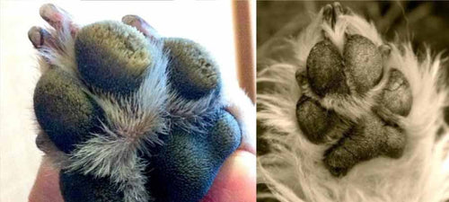 hyperkeratosis-dog-paw-hairy