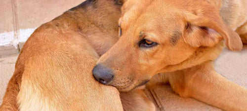 home-remedies-for-dogs-with-skin-allergies-itchy