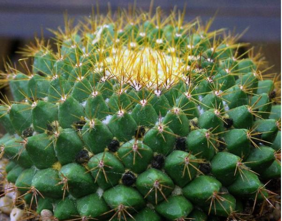 The Cotton Blooming Cactus- Assorted 100 seeds
