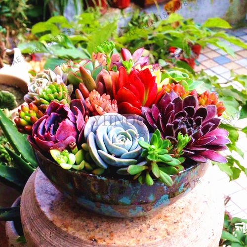 Beautiful Warm Toned Succulents - 200 seeds