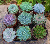 Our Most Popular Jewel Succulent Mix