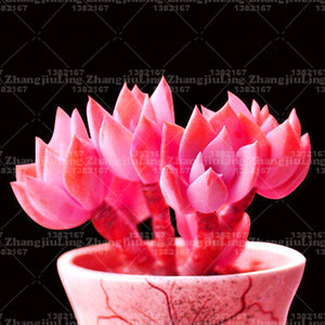 Pinky Pie Succulents  200 Seeds