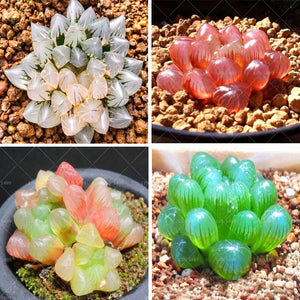 The Grape Succulent - 200 seeds