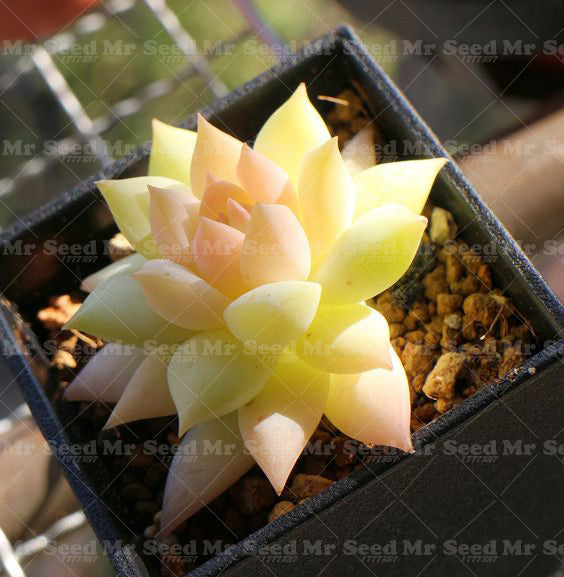 Colorful Succulent Seed Mix 200