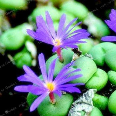 Colorful Mini Bunny Bloomers - Succulents - 100 seeds