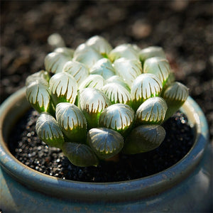 The German Mary Succulent - 100 Seeds