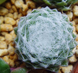 Cotton Ball Sempervivum Succulents - 100 Seeds