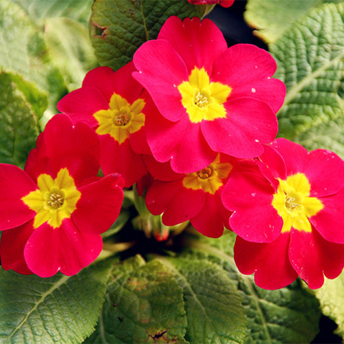 Yellow Jacket Primrose - 100 seeds
