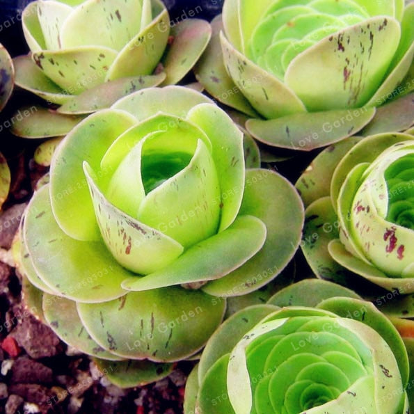 The Green French Rose Succulent - 100 Seeds