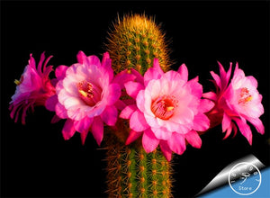 Pink Flower Cactus 100 seeds