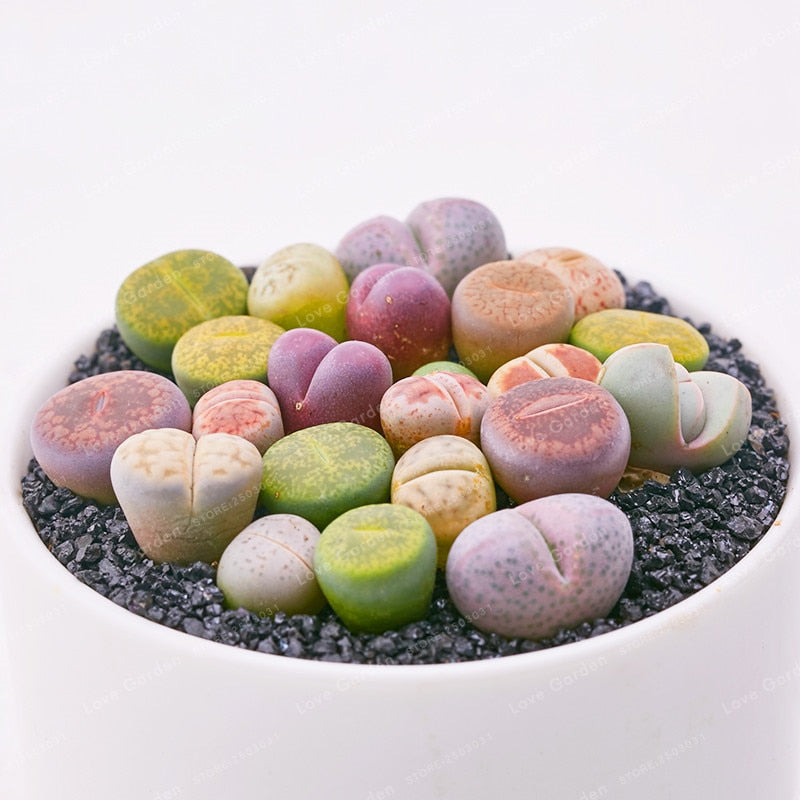 Hearts On Fire Succulents - 100 seeds