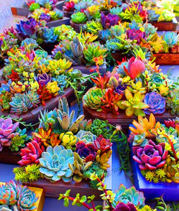 Grandma's Rainbow Delight - Succulents - 100 seeds