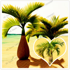 Hyophorbe lagenicaulis - Bottle Palm Tree Seeds 10ct
