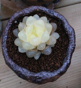 The Mini Succulent - 100 seeds