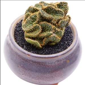 The Happy Succulent  - 100 Seeds